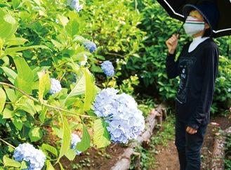 園内に咲き誇るアジサイを眺める女性