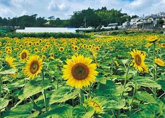 農地の一角に咲くひまわり(7月22日撮影)