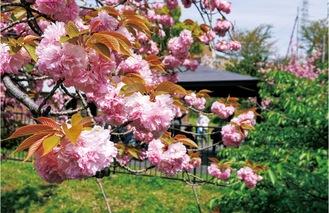 谷矢部池公園の八重桜(4月8日撮影)東屋もある