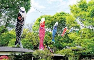 古民家周辺に2箇所飾られる鯉のぼり