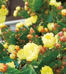 ◀黄色い花をつけるウチワサボテン