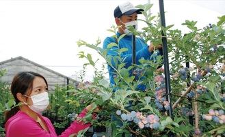ブルーベリーを採取する川戸直樹さん(奥)と妻の佳菜子さん