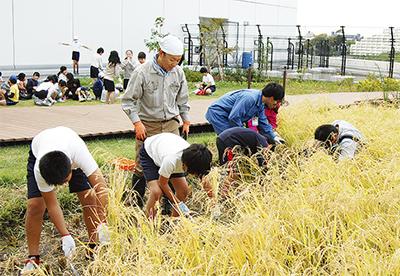 屋上の田で児童が稲刈り