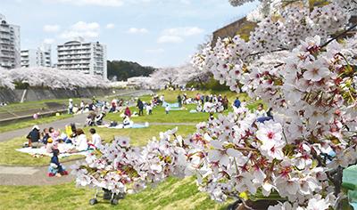 柏尾川を彩る桜並木