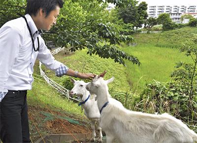 除草にヤギを試験導入