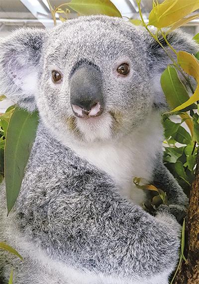 コアラと記念撮影も