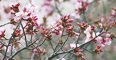 ひと足先に春を告げる