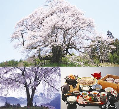 「息を呑む美しさ」上州の一本桜