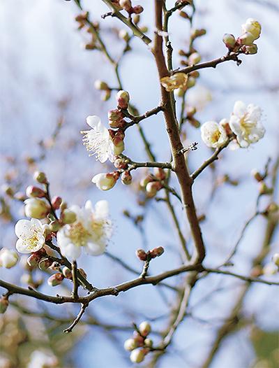 強い寒気に負けず春告げる