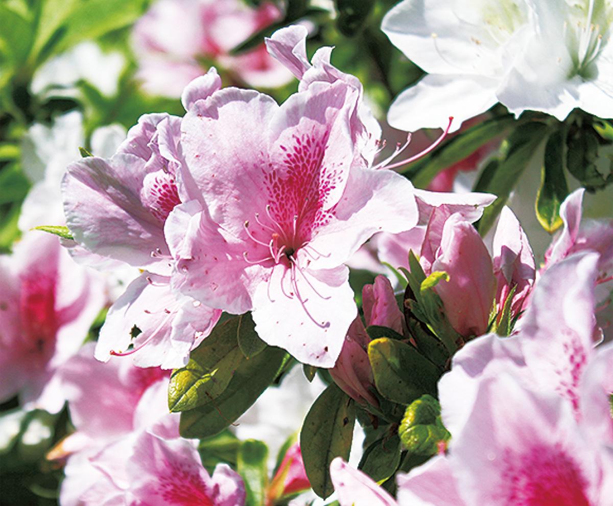 春の花・つつじを愛でる