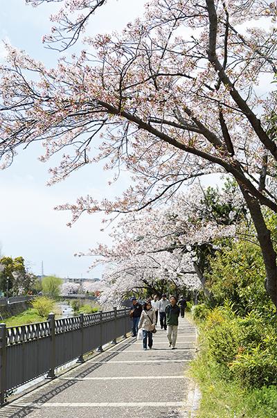 桜連なるいたち川