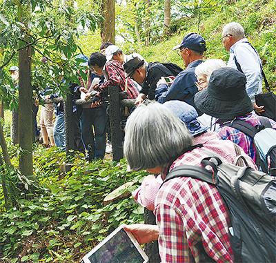 シラユキゲシの群生観察