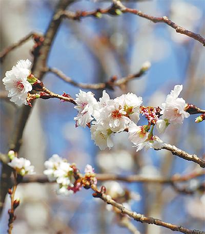 十月桜  川沿いに桜咲く