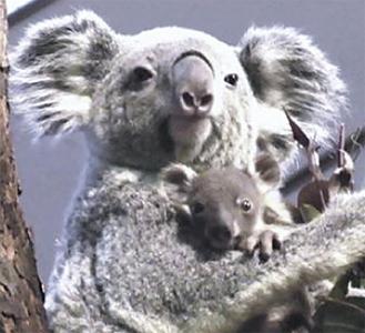 袋から出ることも多くなった赤ちゃんコアラ