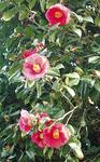冬に大輪の花をつけるツバキ
