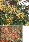 黄色い花が美しいマンサク=写真上=と花弁全体が赤いアカバナマンサク=同下=