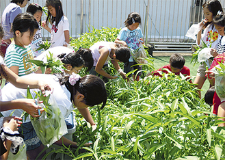 青々と茂った「空芯菜」を収穫する児童=八景小学校