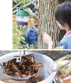 誘引剤の入った容器を木から降ろす=金沢動物園、写真上=、写真下は捕獲された女王バチ