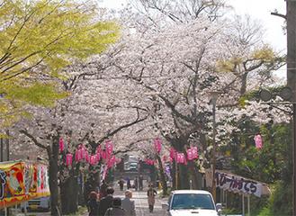 称名寺の桜並木も見ごろ