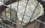 金沢警察署に保護されたワニガメ