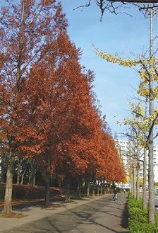 富岡八幡宮そばの紅葉したメタセコイア