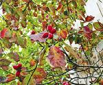 赤い果実をつける(並木)
