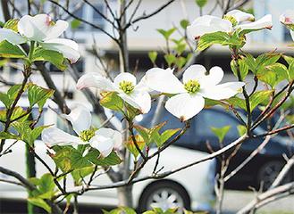 花期の長いハナミズキの花(福浦)