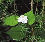 八重の花も(金沢自然公園)