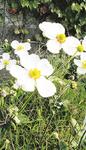 一重の白花品種