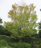 黄葉した葉はカルメラの香り