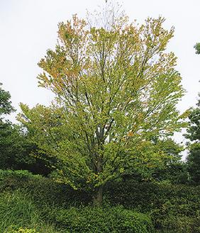 堀口北公園の黄葉始めたカツラ