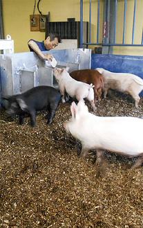 天満代表が育てた豚=HRD提供