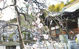 杉田の妙法寺は、今も梅の名所として知られる