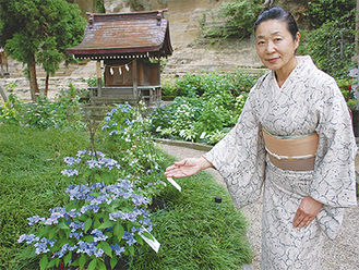 かわいらしい花をつけるヤマアジサイ=5月25日