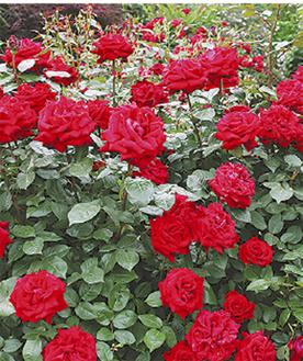 市の花でもあるバラ