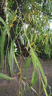 枝垂れた葉は裏表が逆になる