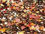 紅葉した落ち葉
