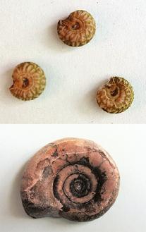 アオツヅラフジの種子(写真上)はアンモナイトの化石(同下)にそっくり