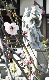 ようやく咲き始めた梅の花(2月9日撮影)