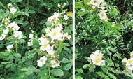 「バラ」は歴とした日本語