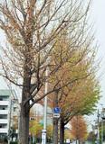 黄葉前に変色・落葉