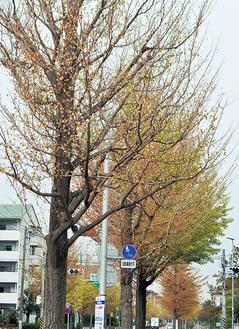 紅葉シーズンを前に落葉したイチョウ並木(金沢区柴町・10月11日撮影)