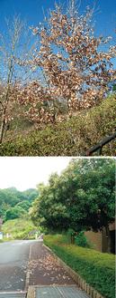 クヌギ(上)と常緑樹マテバシイの落葉(下、ともに金沢自然公園)