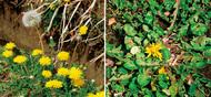冬と夏で花茎の長さが違う