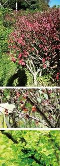 紅葉したニシキギ(上)、枝の翼と果実(中)、花(下)