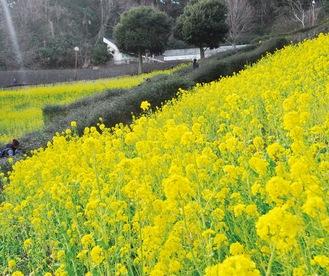 2346平方メートルの菜の花畑が広がる