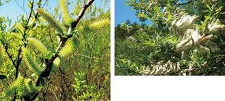タチヤナギの雄花(釜利谷、写真左)と綿毛をつけた種子(右)
