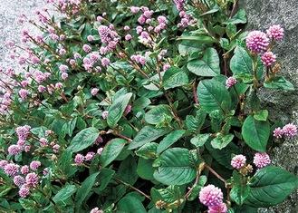 杉田に咲くヒメツルソバ
