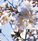 春の訪れ、桜開花