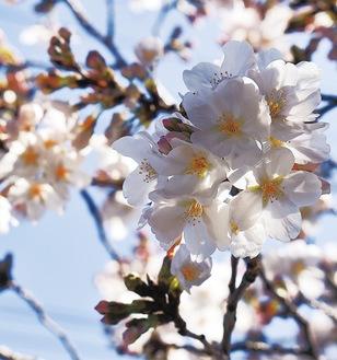 洲崎町の桜(19日撮影)
